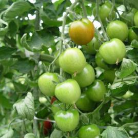 トマトの追肥