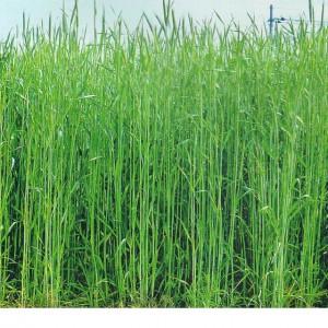 緑肥(ハルミドリ)