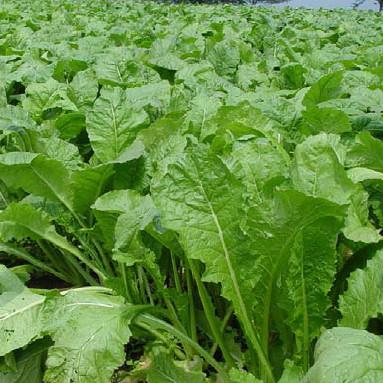 葉物野菜にキトサン溶液